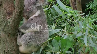 Koala Bear Waking Up