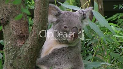 Koala Bear Climbing 02