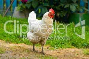 Hen walking on a grass