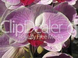 Phalaenopsis-Hybride, Nachtfalter-Orchidee