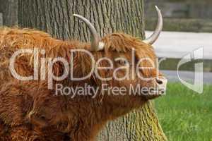 Schottisches Hochlandrind -  Highland Cattle