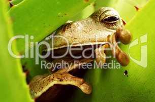 Tropischer Frosch in Bromelie