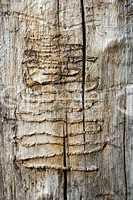 Wood Worm Tracks