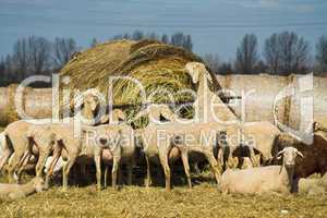 Schafe, sheeps