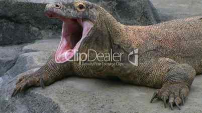 Komodo Dragon Yawning