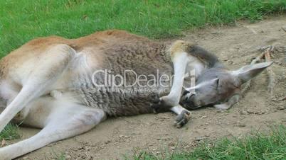 Kangaroo Sleeping And Scratching