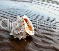 Beautiful marine cockleshell on sandy coast