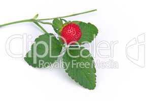 Walderdbeere - woodland strawberry 01