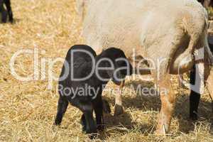 Lamm, lamb