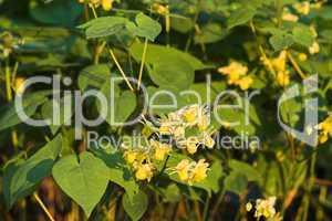 Elfenblume, barrenwort