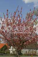 Prunus, Japanische Zierkirsche