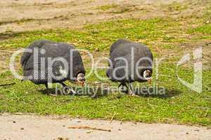 Perlhühner, guinea fowls