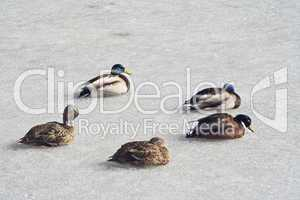 Enten auf dem Eis, ducks on a frozen lake