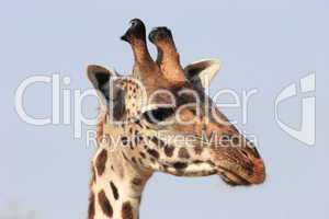 Giraffe close-up head