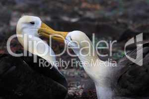 Albatross pair