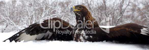 Hunting of a golden eagle