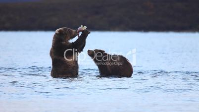 Bear with a bear cub eat fish