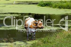 Cow in a pond