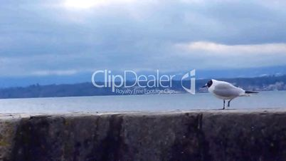 Seagull walking on a wall