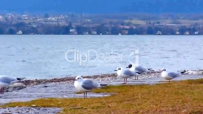 Many seagulls standing and flying on the shore