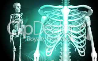 skeleton and human rib