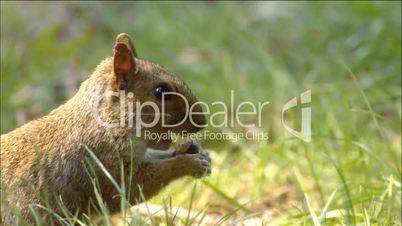 Squirrel - Eichhörnchen