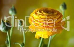 Gelbe Ranunkel Ranunculus asiaticus