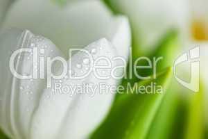 Weiße Tulpen mit Wassertropfen