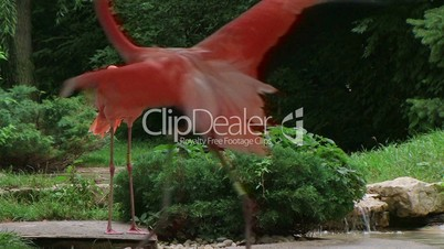American Flamingo Mating Ritual