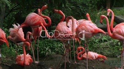American Flamingo Mating Ritual 02