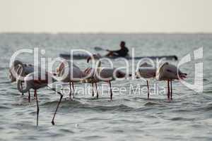 Kajakfahrer und Flamingos