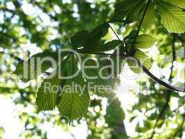 Blätter der Rosskastanie mit Sonne
