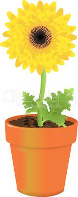 Daisy In Pot