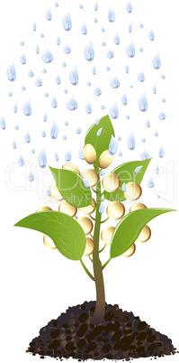 Money plant with rain drops