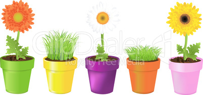 Colorful Pots With Daisies And Grass