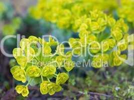Walzen-Wolfsmilch - Euphorbia myrsinites