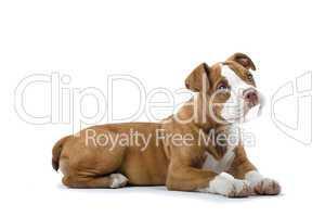 Staffordshire Terrier Jungtier