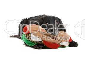schwarzer Hund mit Spielzeug