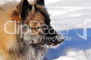 Hund im Winter Wolfsspitz
