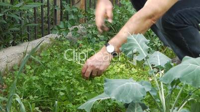 Farmer gathers harvest.