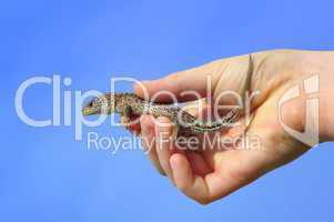 Zauneidechse in der Hand