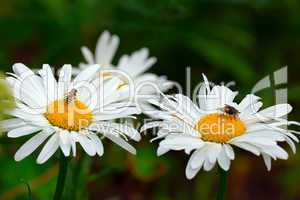 Flies on the daisies