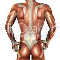 Muskelaufbau männlicher Rücken