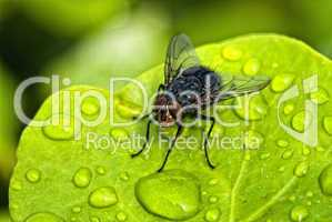 Black Fly over a Green Leaf with Water Drops