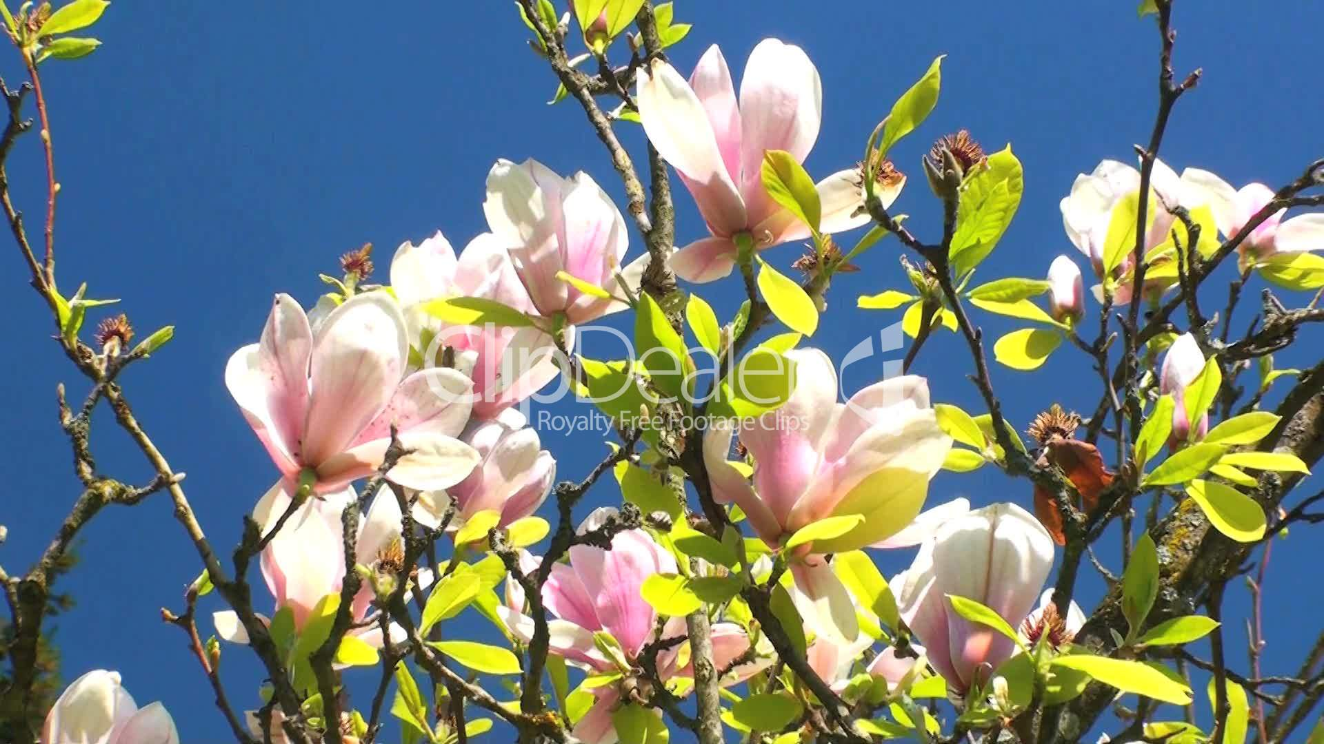 magnolienbaum lizenzfreie stock videos und clips. Black Bedroom Furniture Sets. Home Design Ideas