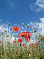 Poppies In A Field