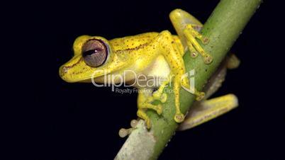 Gunther's banded treefrog (Hypsiboas fasciatus)