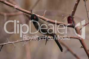 Maskenbülbül (Pycnonotus nigricans)
