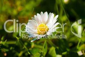 Gänseblümchen auf grüner Wiese
