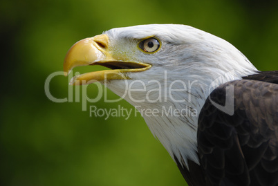 Weißkopfseeadler (Bald Eagle) - Haliaeetus leucocephalus